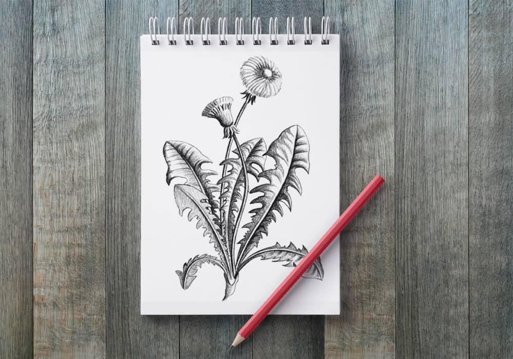 illustration naturaliste dessin pissenlit